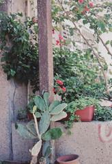 (souge_) Tags: cactus flower plant street photography telaviv travel israel analog film