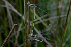 Apareamiento de liblulas // Mating in dragonflies (Cazadora de Fotos) Tags: mating dragonflies apareamiento libelulas macro puesta de huevos insectos