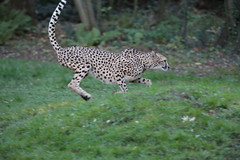 STARTING (carlo612001) Tags: cheetah ghepardo animal animals hunter hunting start starting predator predators speed parcofaunisticolatorbiera feline felines