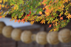 autumn color at Seiryuji Temple (tomosang R32m) Tags: japan fukuoka koga seiryuji temple autumn color leaf fall