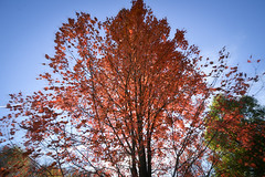 Red Tree (Scouttyboy) Tags: fallfoliage tree red