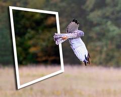Northern Harrier on patrol 2013 (hz536n/George Thomas) Tags: 2013 canon5d michigan summer upnorth ef300mmf4lisusm bird frame cs5 copyright northernharrier flight flying prescott
