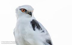 Black-shouldered Kite_Portrait (Yasir Subhan) Tags: blackshoulderedkite australianblackshoulderedkite australiankite kite raptor birdofprey australianbird canon7dmarkii sigma150600mmf563dgoshsm s cherrylake altona