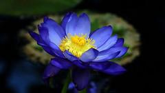 Nymphaea 'Kew's Stowaway Blues' (Nymphaeaceae) (Kaisaniemi Botanic Garden, Helsinki, 20160926) (RainoL) Tags: 20120559 2016 201609 20160926 autumn blue botanicalgarden clr cultivar fin finland flower flowers fz200 garden geo:lat=6017523740 geo:lon=2494669497 geotagged gloet greenhouse helsingfors helsinki indoors kaisaniemenkasvitieteellinenpuutarha kaisaniemi kaisaniemibotanicgarden kajsaniemi kajsaniemibotaniskaträdgård kluuvi nyland nymphaea nymphaeakewsstowawayblues nymphaeaceae plant plants september uusimaa