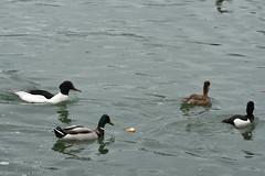 4 canards diffrents/4 different ducks : Harle Bivre (Mergus merganser), Canard Colvert (Anas platyrhynchos), Nette Rousse (Netta rufina) et Fuligule Morillon (Aythya fuligula) (TICHAT10) Tags: animaux fuligulemorillon harlebivremle laclman netteroussefemelle suisse canardcolvertmle eau oiseaux villeneuve vaud ch
