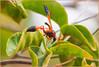 PB052210 e1 MF fr (David W Geddes) Tags: wasp deltadimidiatipenne potterwasp la gomera sansebastian