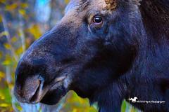 EYE OF THE BEHOLDER (Aspenbreeze) Tags: moose bullmoose wildmoose wildanimal animal wyomingwildlife coloradowildlife nature rural outdoors envornment eye country mountains bevzuerlein aspenbreeze moonandbackphotography