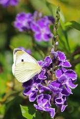 Cabbage White Butterfly 027 (DMT@YLOR) Tags: cabbagewhitebutterfly geishagirl garden ipswich queensland australia goodna bush tree