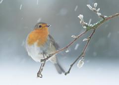 Snowy Robin (Wouter's Wildlife Photography) Tags: robin erithacusrubecula bird gardenbird garden snow nature wildlife animal billund christmas winter cold
