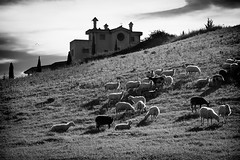 (Capannelle) Tags: cerveteri pecore gregge