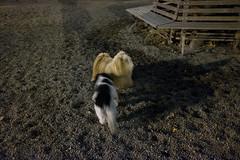 madison square park dog run (Charley Lhasa) Tags: fujifilmx70 fujifilm x70 185mm iso6400 secatf28 0ev aperturepriority pattern noflash dsf3235 raw uncropped taken161118172902 uploaded161119011837 2stars flagged adobelightroomcc20157 lightroomcc20157 adobelightroom lightroom charley charleylhasa lhasaapso dog madisonsquareparkdogrun jemmysdogrun dogrun dogpark night evening walk madisonsquarepark msp nycparks citypark urbanpark flatirondistrict manhattan newyorkcity nyc newyork ny tumblr161118 httpstmblrcozpjiby2errzkd
