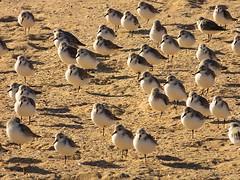 Family (Gert Vanhaecht) Tags: canonpowershotsx700hs beach color gertvanhaecht availablelight algarve coast portugal bird birds colour canon light nature