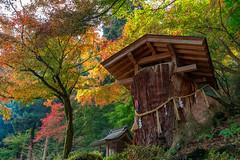 Sacred tree (Hiro_A) Tags: sacred tree nishiyamakoryu temple autumn leaves fall saijo ehime shikoku japan nikon d7200 sigma 1770mm 1770
