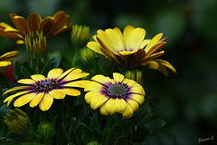 Summer Garden Memories (Eleanor (No multiple invites please)) Tags: osteospermum africandaisy yellowflowers garden stanmore uk nikond7200 may2016 buds ngc