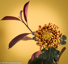 """Autumn, in the livingroom """"Chrysanthemum Fuego"""" (A.J. Boonstra) Tags: chrysanthemumfuego canon canoneos canon70d sigma sigma18300mmf3563dcmacrooshsmc chrysanthemum chrysanten flowers autumn indoor falconeyesskk2150d"""