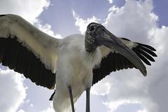 Wood Stork Wide Angle (www.studebakerstudio.com) Tags: wood stork wide angle woodstork heron florida gatorland orlando bird animal