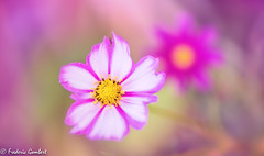 Pink desire (frederic.gombert) Tags: cosmos flower light sun sunlight color colors colored flowers macro garden plant nikon d810