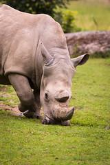 Rhino (Cloudtail the Snow Leopard) Tags: nashorn zoo augsburg tier animal mammal sugetier breitmaul weises ceratotherium simum white rhino rhinoceros