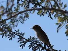 Yellow-rumped Warbler - Arizona by SpeedyJR (SpeedyJR) Tags: 2016janicerodriguez sweetwaterwetlands tucsonaz yellowrumpedwarbler warblers birds wildlife nature tucsonarizona arizona speedyjr
