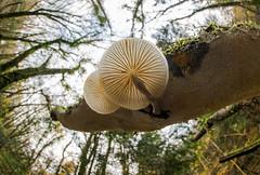 Porcelain Mushroom (Ben Porter Wildlife Photography) Tags: canon815mm woodland fungi porcelainmushroom mushrooms forests ultrawideangle closeup macrophotography landscape creative