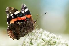 Red Admiral Butterfly (Vanessa atalanta) (Douglas Heusser) Tags: red admiral butterfly vanessa atalanta lepidoptera canon macro photography tamron 90mm lens nature wildlife heusser photo