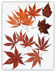 Acer art (Gillian Everett) Tags: acer westonbirt arboretum england
