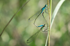 Damsels in love  (.: mike | MKvip Beauty :.) Tags: sony6000 sonyilce6000 sonyalpha6000 sonyalpha sony alpha emount 6000 ilce6000 canonef100mm28macrousm ef100mmf28macrousm canon adapter viltroxefnexiiaf viltrox afadapter efnex eftoemount primelens prime manualfocusing manualexposure manual handheld availablelight naturallight shallowdof bokeh bokehlicious beyondbokeh extremebokeh smoothbokeh closeup macro makro dreamy soft zen nature green flower wildflower spring animal insect odonata zygoptera matingwheel bluetailededdamselflies bluetailededdamselfly male female   ischnuraelegans vanderlinden1820 insekt libelle grosepechlibelle mnnchen weibchen paarungsrad berg germany europe mth mkvip ngc npc