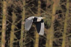 Grey Heron (Parishes of the Buzzard) Tags: bird grey heron greyheron