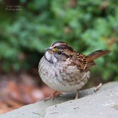 White Throated Sparrow (jklewis4) Tags: backyard bird birds songbird whitethroatedsparrow yelloweyebrows