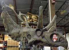 Agujaceratops (Will S.) Tags: mypics quintewest trenton ontario canada researchcastinginternational rci skeletons reconstructions fossils specimens dinosaurs