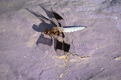 Dragon Fly (Carly Sabatino) Tags: ri school nature bristol outdoors high mthope
