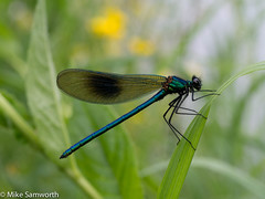 banded demoiselle (photomicro) Tags: macro insects naturalhistory microscope microscopy