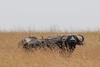 KNY_00716 (ABennour0827) Tags: africa kenya safari masaimara 1dx