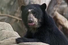 goofy face (ucumari photography) Tags: zoo oso smithsonian dc washington national april spectacledbear 2011 chaska andeanbear tremarctosornatus 7951 specanimal ucumariphotography osoandino eljuco