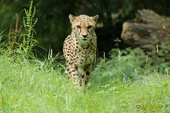 Sdafrikanischer Gepard (Geralds-Raubtiere) Tags: zookln flickrbigcats sdafrikanischergepard