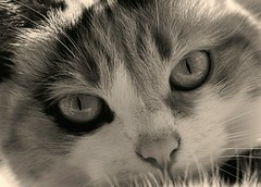 These eyes (Chizuka2010) Tags: portrait blackandwhite bw monochrome animal closeup cat noiretblanc ella nb portraiture minou chatte catportrait week41 portraitdechat chizuka2010 hmbt luciegagnon 52weeksofpix2013