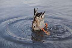 Pato ahogndose en Hyde Park, Londres. (www.rojoverdeyazul.es) Tags: park uk london water duck agua unitedkingdom hyde pato londres ru autor alvaro bueno reinounido