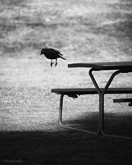 the art of levitation (bluechameleon) Tags: autumn blackandwhite bw bird silhouette shadows magic feathers stanleypark crow picnictable levitating bluechameleon artlibre sharonwish bluechameleonphotography