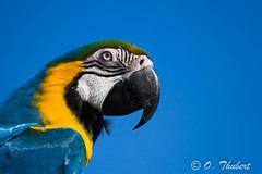 Ara bleu (OT38) Tags: birds jaune parrot aves bleu oiseaux perroquet araararauna faune blueandyellowmacaw arableu vision:mountain=0599