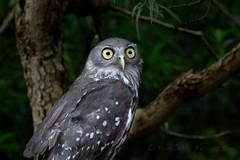 Who me? (LearnedWords) Tags: birds australia melbourne healesville healesvillesanctuary owl barnowl birdsofprey barkingowl eule ninoxconnivens