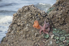 Sea stars and anemones, Ruby Beach, WA (SomePhotosTakenByMe) Tags: seastar seaanemone usa unitedstates america amerika washington olympicnationalpark nationalpark rubybeach beach strand natur nature animal tier pacific pazifik meer ocean sea ozean coast küste