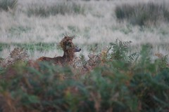 Red Deer (David Nunn) Tags: park autumn red london royal richmond deer reddeer richmondpark rut cervus 2013 reddeerrut cervuselapses elapses