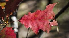 Turning DSC2447 (iloleo) Tags: park autumn red toronto fall nature leaf oak bokeh foliage colourful sunnybrook nikond7000