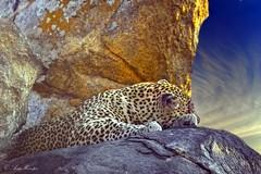 Wildlife art combo (Arno Meintjes Wildlife) Tags: wallpaper art wildlife safari leopard combo arnomeintjes