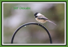 Wet Chickaee (bigbrowneyez) Tags: bird nature wet rain wings sweet bokeh feathers adorable posing natura chickadee raindrops perched sweetness pioggia mybackgarden uccellino miogirdino wetchickadee