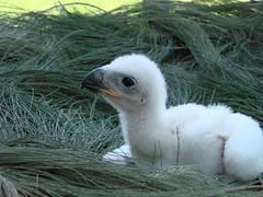 Crowned Eagle (Mandara Birder) Tags: stephanoaetuscoronatus