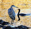 Great Blue Heron and a Commorant (KoolPix) Tags: nature water birds animal pond feathers commorant greatblueheron naturephotography beaks naturephotos jayd naturephotographer animalphotographer koolpix photocontesttnc12 jaydiaz jaydiaznaturephotographer photocontesttnc13 dailynaturetnc13 wcswebsite photocontesttnc14 dailynaturetnc14