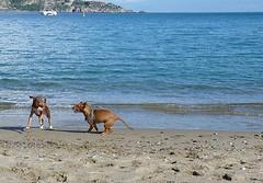 Giardini Naxos - La felicit di Rosalia  correre con un'amichetta sulla spiaggia (Luigi Strano) Tags: italy dog chien dogs animals cane puppies europa europe italia hond perro hund sicily animali sicilia cani  smrgsbord rosalia cuccioli  giardininaxos cirnecodelletna sicilianhound siciliangreyhound c