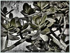 jade (Wrabitt / Thanks all followers...) Tags: plant planta venezuela gimp jade mata arbusto desaturación caripe