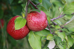 An Apple or Two a Day (kvwcreations) Tags: red tree apple minnesota fruit orchard